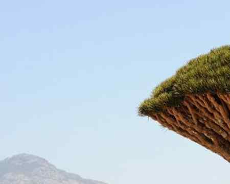 Das unglaubliche an diesen Gewächsen im Jemen ist, es sind eigentlich keine Bäume sondern gehören zu der Familie der Spargelgewächse.