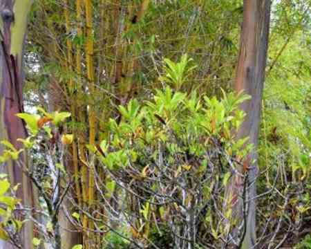 Ein unglaubliches Phänomen sind diese Art Eukalyptus deren Rinde in unterschiedlichen Farben erstrahlt.