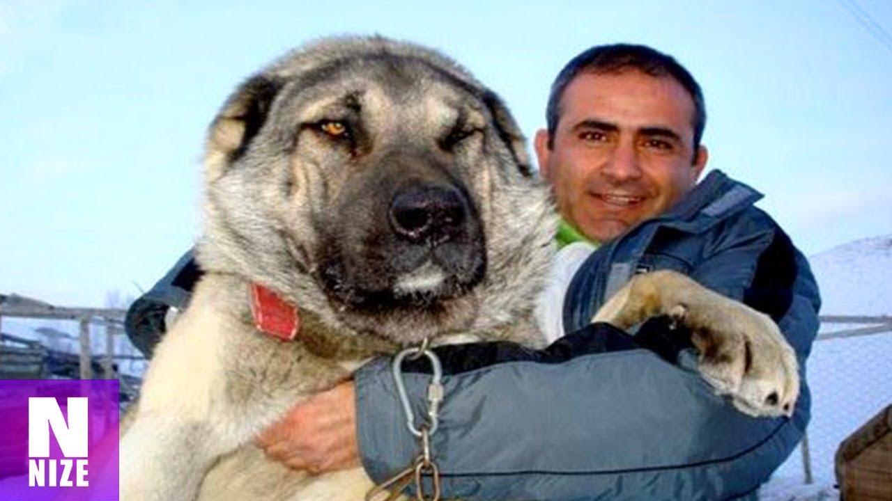 So sehen Tiere aus die stärker als Wölfe sind.